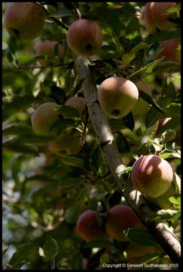 Apples, Srinagar
